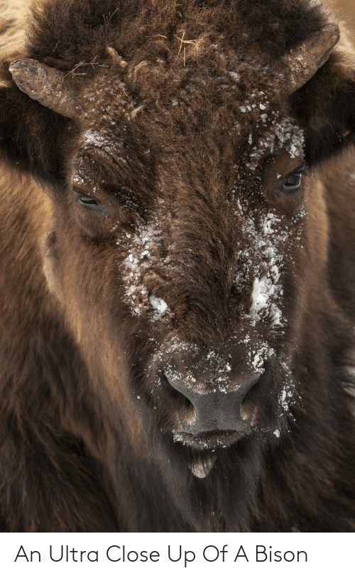 bison: An Ultra Close Up Of A Bison