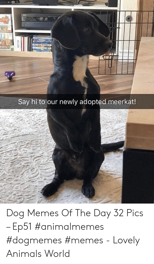 Meerkat: ANATA  ROPOLY  Say hi to our newly adopted meerkat!  Resort Dog Memes Of The Day 32 Pics – Ep51 #animalmemes #dogmemes #memes - Lovely Animals World