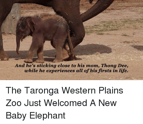 Baby Elephants: And he's sticking close to his mom, Thong Dee,  while he experiences all of his firsts in life. The Taronga Western Plains Zoo Just Welcomed A New Baby Elephant