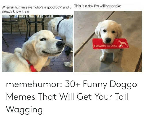 """Doggo Memes: and u  This is a risk I'm willing to take  When ur human says """"who's a good boy""""  already know it's u  Beware of Dog memehumor:  30+ Funny Doggo Memes That Will Get Your Tail Wagging"""