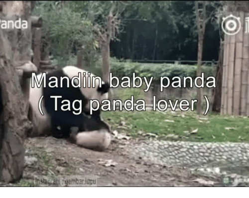 Panda, Indonesian (Language), and Baby Panda: anda  Manelin baby panda  Tag panda-lover