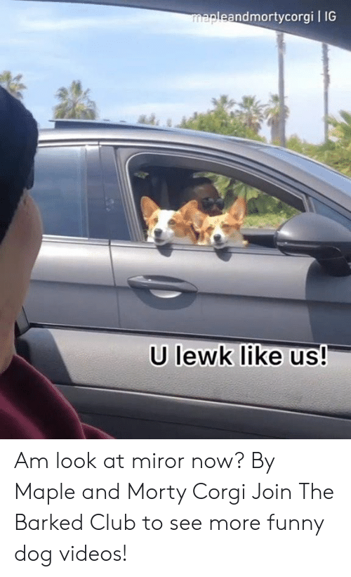 dog videos: andmortycorgi l IG  U lewk like us! Am look at miror now? By Maple and Morty Corgi   Join The Barked Club to see more funny dog videos!