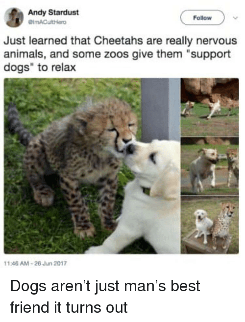 """zoos: Andy Stardust  Follow  Just learned that Cheetahs are really nervous  animals, and some zoos give them """"support  dogs"""" to relax  146 AM-26 Jun 2017 Dogs aren't just man's best friend it turns out"""