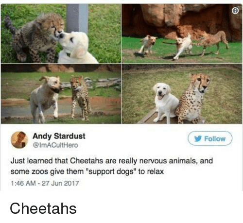 """zoos: Andy Stardust  @ImACultHero  ( Follow  Just learned that Cheetahs are really nervous animals, and  some zoos give them """"support dogs"""" to relax  1:46 AM-27 Jun 2017 Cheetahs"""