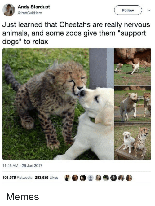 """zoos: Andy Stardust  @imACultHero  Follow  Just learned that Cheetahs are really nervous  animals, and some zoos give them """"support  dogs"""" to relax  11:46 AM 26 Jun 2017  101,975 Retweets 283,585 Likes  e·@ :身  0终 Memes"""