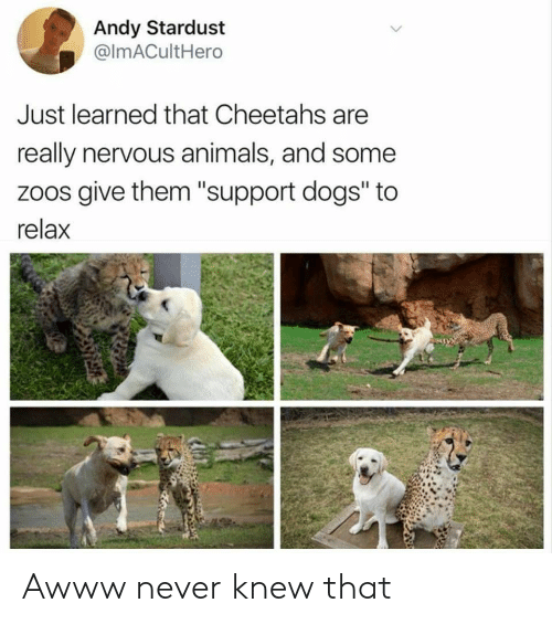 "Awww: Andy Stardust  @ImACultHero  Just learned that Cheetahs are  really nervous animals, and some  zoos give them ""support dogs"" to  relax Awww never knew that"