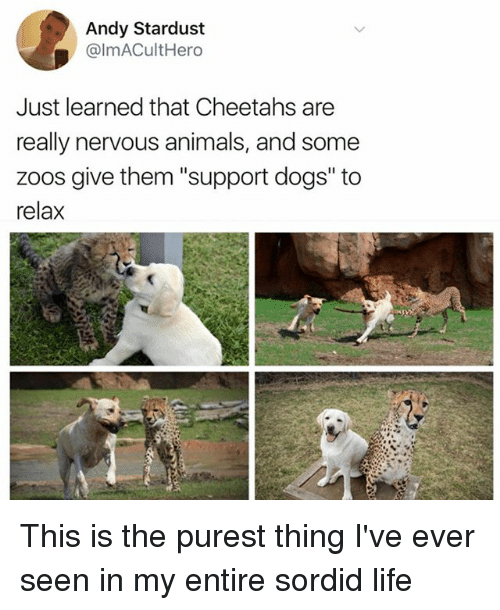 """Animals, Dogs, and Funny: Andy Stardust  @lmACultHero  Just learned that Cheetahs are  really nervous animals, and some  zoos give them """"support dogs"""" to  relax This is the purest thing I've ever seen in my entire sordid life"""