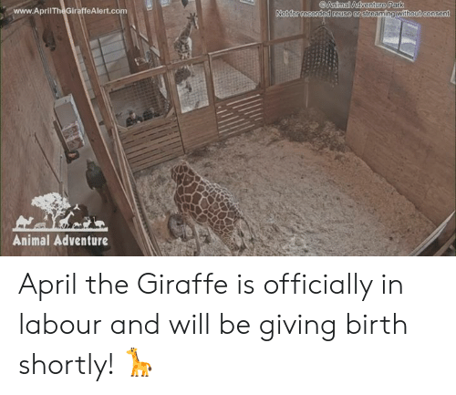 giving birth: Animal Adventure Park  www.AprilTheGiraffeAlert.co  Not for recorded reuse or  streaming without consen  Animal Adventure April the Giraffe is officially in labour and will be giving birth shortly! 🦒