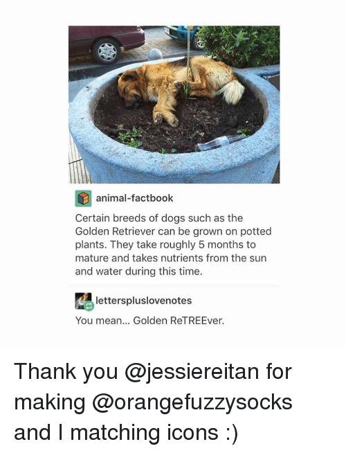 Tumblr, Golden Retriever, and Match: animal-factbook  Certain breeds of dogs such as the  Golden Retriever can be grown on potted  plants. They take roughly 5 months to  mature and takes nutrients from the sun  and water during this time.  letterspluslovenotes  You mean... Golden ReTREEver. Thank you @jessiereitan for making @orangefuzzysocks and I matching icons :)