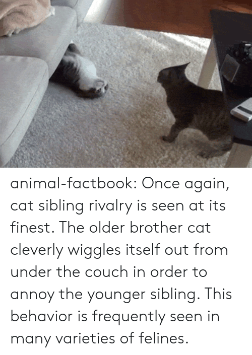 Sibling Rivalry: animal-factbook:  Once again, cat sibling rivalry is seen at its finest. The older brother cat cleverly wiggles itself out from under the couch in order to annoy the younger sibling. This behavior is frequently seen in many varieties of felines.