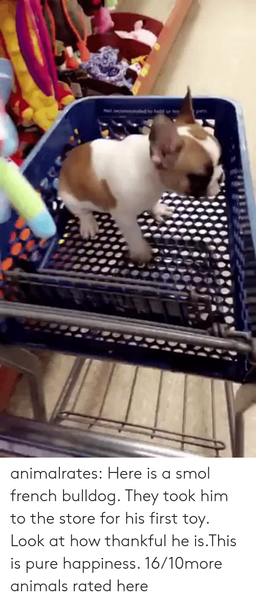 french bulldog: animalrates:  Here is a smol french bulldog. They took him to the store for his first toy. Look at how thankful he is.This is pure happiness. 16/10more animals rated here