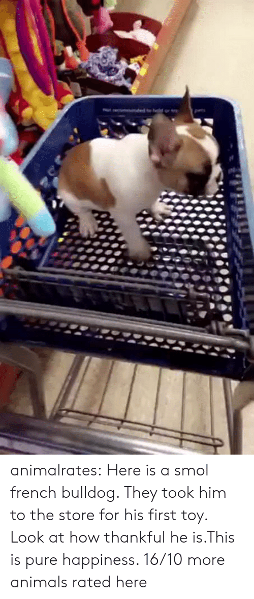 french bulldog: animalrates:  Here is a smol french bulldog. They took him to the store for his first toy. Look at how thankful he is.This is pure happiness. 16/10 more animals rated here