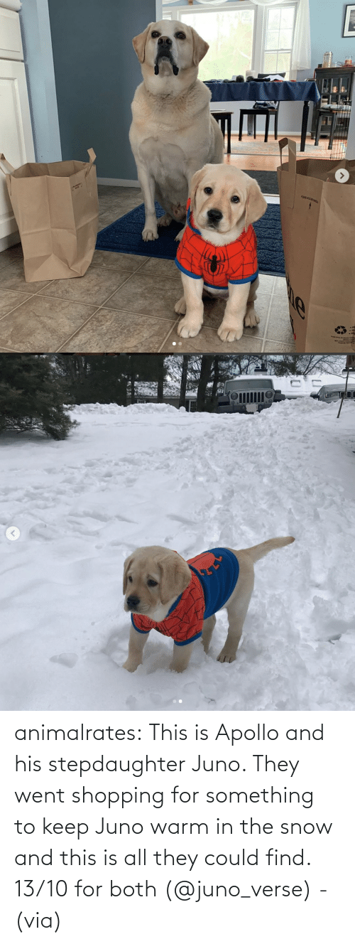 Snow: animalrates:  This is Apollo and his stepdaughter Juno. They went shopping for something to keep Juno warm in the snow and this is all they could find. 13/10 for both‬ (@juno_verse) - (via)