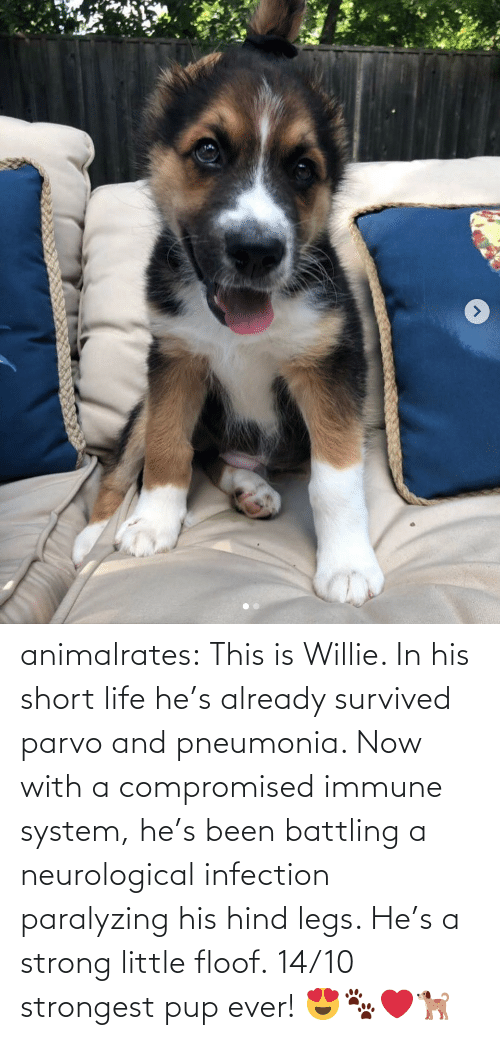 legs: animalrates: This is Willie. In his short life he's already survived parvo and pneumonia. Now with a compromised immune system, he's been battling a neurological infection paralyzing his hind legs. He's a strong little floof. 14/10 strongest pup ever! 😍🐾❤️🐕