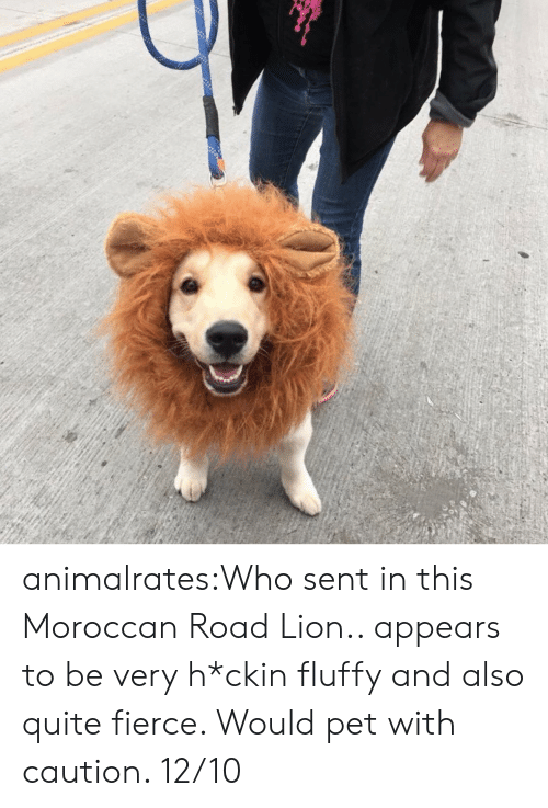 fierce: animalrates:Who sent in this Moroccan Road Lion.. appears to be very h*ckin fluffy and also quite fierce. Would pet with caution. 12/10