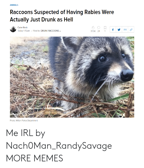 raccoons: ANIMALS  Raccoons Suspected of Having Rabies Were  Actually Just Drunk as Hell  Catie Keck  Today 1:15am . Filed to: DRUNK RACCOONS﹀  31.5K 24 1f  Photo: Mlton Police Department Me IRL by Nach0Man_RandySavage MORE MEMES