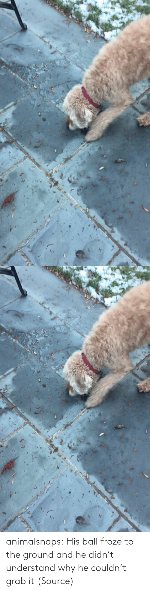 ball: animalsnaps:  His ball froze to the ground and he didn't understand why he couldn't grab it (Source)