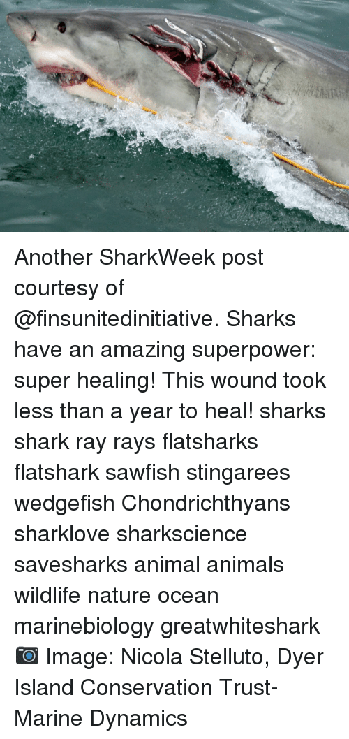 Animals, Memes, and Shark: Another SharkWeek post courtesy of @finsunitedinitiative. Sharks have an amazing superpower: super healing! This wound took less than a year to heal! sharks shark ray rays flatsharks flatshark sawfish stingarees wedgefish Chondrichthyans sharklove sharkscience savesharks animal animals wildlife nature ocean marinebiology greatwhiteshark 📷 Image: Nicola Stelluto, Dyer Island Conservation Trust-Marine Dynamics