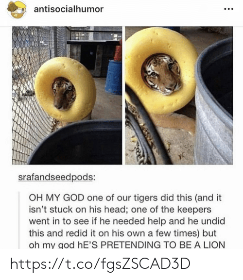 Tigers: antisocialhumor  srafandseedpods:  OH MY GOD one of our tigers did this (and it  isn't stuck on his head; one of the keepers  went in to see if he needed help and he undid  this and redid it on his own a few times) but  oh my god hE'S PRETENDING TO BE A LION https://t.co/fgsZSCAD3D