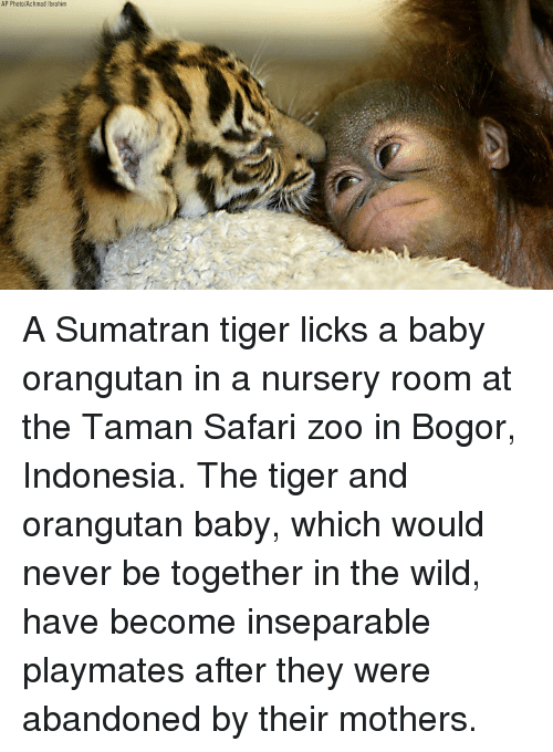licks: AP Photo/Achmad Ibrahim A Sumatran tiger licks a baby orangutan in a nursery room at the Taman Safari zoo in Bogor, Indonesia. The tiger and orangutan baby, which would never be together in the wild, have become inseparable playmates after they were abandoned by their mothers.
