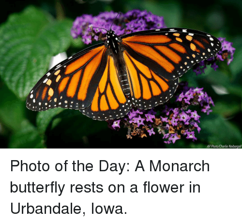 Iowa: AP Photo/Charlie Neibergall Photo of the Day: A Monarch butterfly rests on a flower in Urbandale, Iowa.