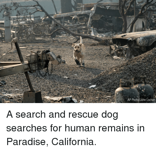 rescue dog: AP Photo/John Locher A search and rescue dog searches for human remains in Paradise, California.