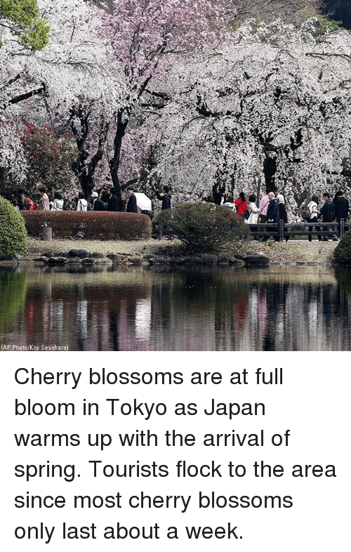 Memes, Japan, and Spring: AP Photo/Koji Sasahara) Cherry blossoms are at full bloom in Tokyo as Japan warms up with the arrival of spring. Tourists flock to the area since most cherry blossoms only last about a week.