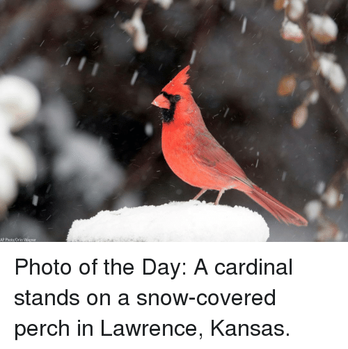 cardinal: AP Photo/Orlin Wagner Photo of the Day: A cardinal stands on a snow-covered perch in Lawrence, Kansas.