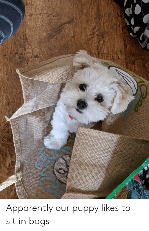 Sit In: Apparently our puppy likes to sit in bags