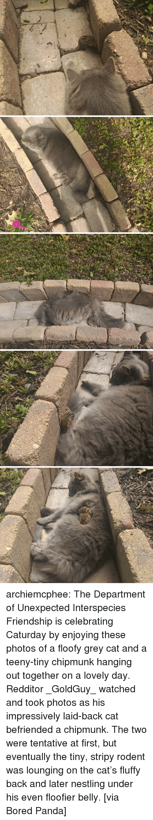 chipmunk: archiemcphee: The Department of Unexpected Interspecies Friendship is celebrating Caturday by enjoying these photos of a floofy grey cat and a teeny-tiny chipmunk hanging out together on a lovely day. Redditor _GoldGuy_ watched and took photos as his impressively laid-back cat befriended a chipmunk. The two were tentative at first, but eventually the tiny, stripy rodent was lounging on the cat's fluffy back and later nestling under his even floofier belly. [via Bored Panda]