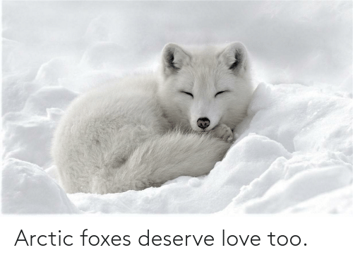 foxes: Arctic foxes deserve love too.