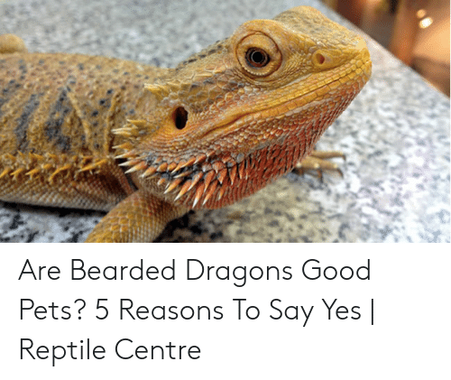 Stinky Lizard: Are Bearded Dragons Good Pets? 5 Reasons To Say Yes | Reptile Centre