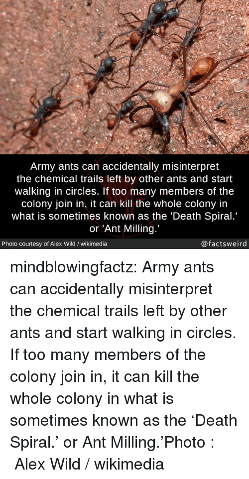 Colony: Army ants can accidentally misinterpret  the chemical trails left by other ants and start  walking in circles. If too many members of the  colony join in, it can kill the whole colony in  what is sometimes known as the 'Death Spiral.  or 'Ant Milling  X/  Photo courtesy of Alex Wild / wikimedia  @factsweird mindblowingfactz:  Army ants can accidentally misinterpret the chemical trails left by other ants and start walking in circles. If too many members of the colony join in, it can kill the whole colony in what is sometimes known as the 'Death Spiral.' or Ant Milling.'Photo :  Alex Wild / wikimedia