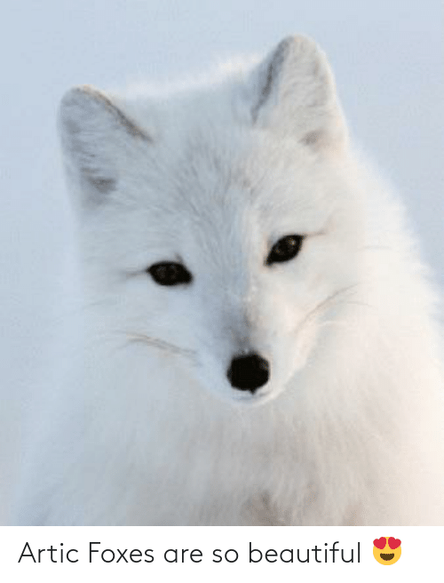 foxes: Artic Foxes are so beautiful 😍