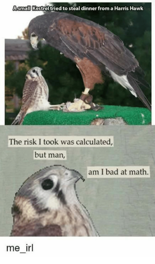 Risk I Took Was Calculated But Man Am I Bad At Math: Asmall Kestrel tried to steal dinner from a Harris Hawk  The risk I took was calculated,  but man,  am I bad at math  me irl