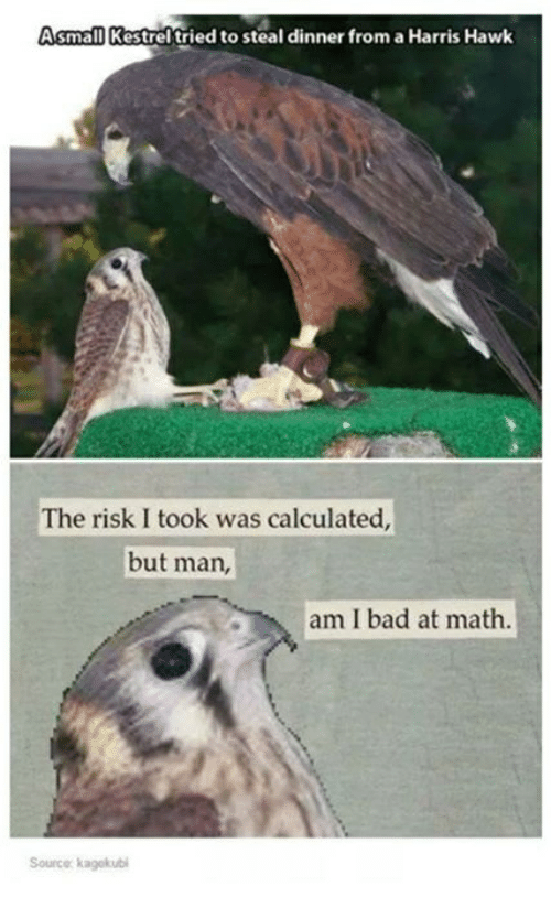 hawke: Asmall Kestrel tried to steal dinner from aHarris Hawk  The risk I took was calculated,  but man,  am I bad at math.  Source kagekubi