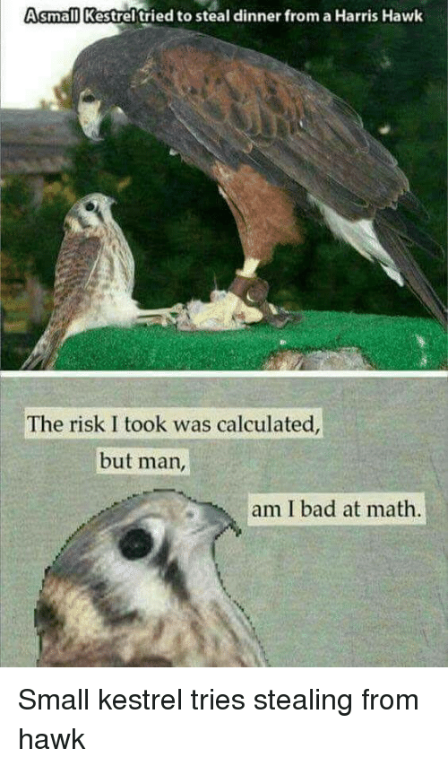 Risk I Took Was Calculated But Man Am I Bad At Math: Asmall Kestreltried to steal dinner from a Harris Hawk  The risk I took was calculated  but man,  am I bad at math. Small kestrel tries stealing from hawk