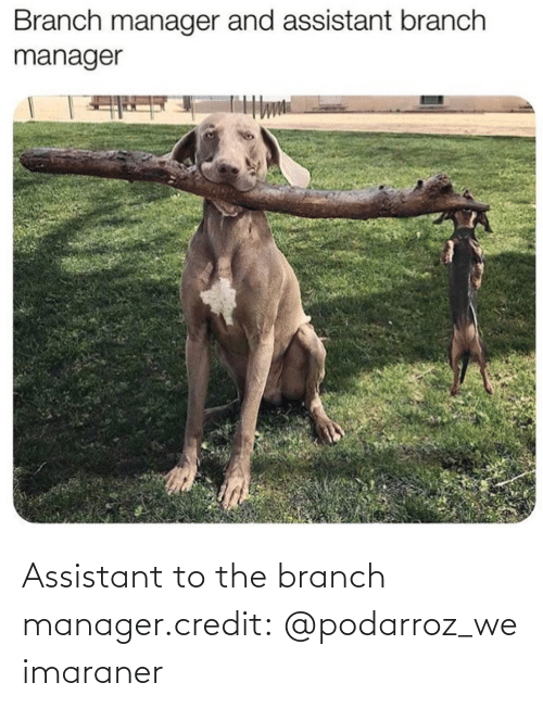 Credit: Assistant to the branch manager.credit: @podarroz_weimaraner