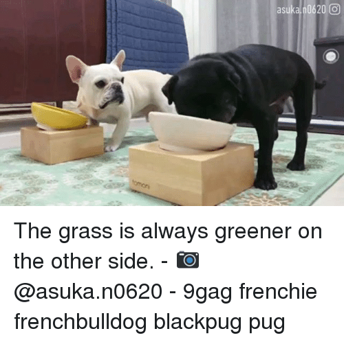 9gag, Memes, and Asuka: asuka 0620 0 The grass is always greener on the other side. - 📷 @asuka.n0620 - 9gag frenchie frenchbulldog blackpug pug