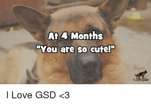 "gsd: At 4 Months  ""You are so cute!""  GSD I Love GSD  <3"