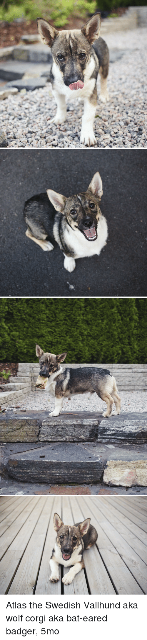 Corgi, Wolf, and Swedish: Atlas the Swedish Vallhund aka wolf corgi aka bat-eared badger, 5mo
