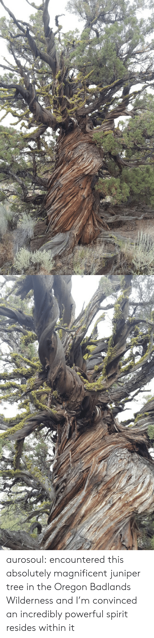 Wilderness: aurosoul: encountered this absolutely magnificent juniper tree in the Oregon Badlands Wilderness and I'm convinced an incredibly powerful spirit resides within it