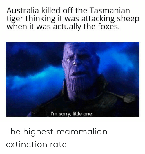 tasmanian tiger: Australia killed off the Tasmanian  tiger thinking it was attacking sheep  when it was actually the foxes.  I'm sorry, little one. The highest mammalian extinction rate