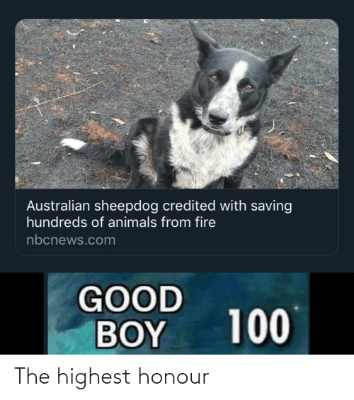 Credited: Australian sheepdog credited with saving  hundreds of animals from fire  nbcnews.com  GOOD  BOY  100 The highest honour