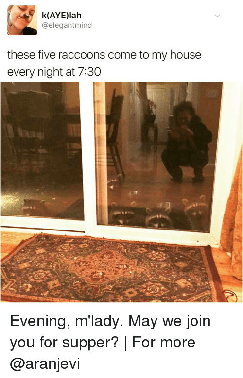 Memes, My House, and Raccoon: (AYE)lah  @elegantmind  these five raccoons come to my house  every night at 7:30 Evening, m'lady. May we join you for supper? | For more @aranjevi