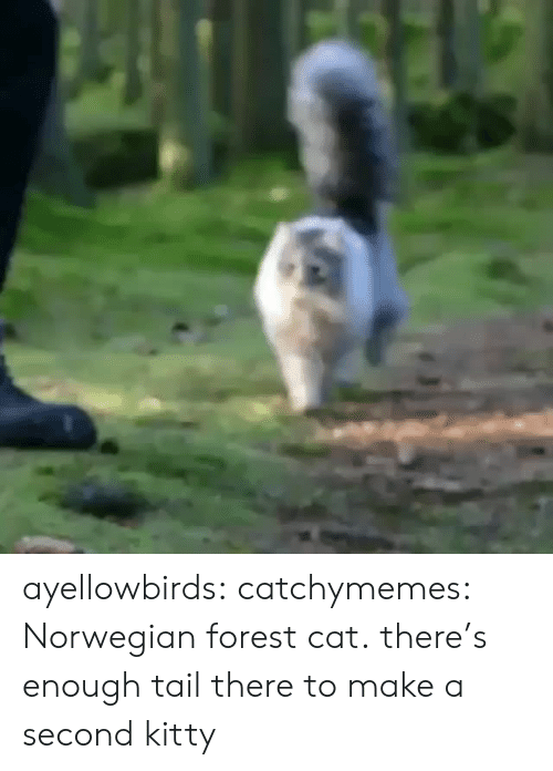 Norwegian: ayellowbirds: catchymemes: Norwegian forest cat. there's enough tail there to make a second kitty