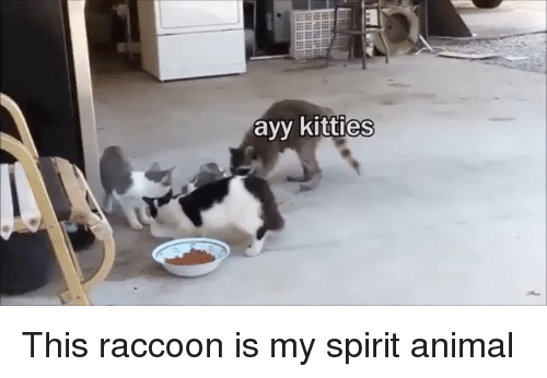 Kitties, Animal, and Raccoon: ayy kitties This raccoon is my spirit animal