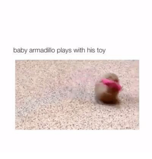 Funny: baby armadillo plays with his toy