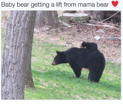 mama bear: Baby bear getting a lift from mama bear