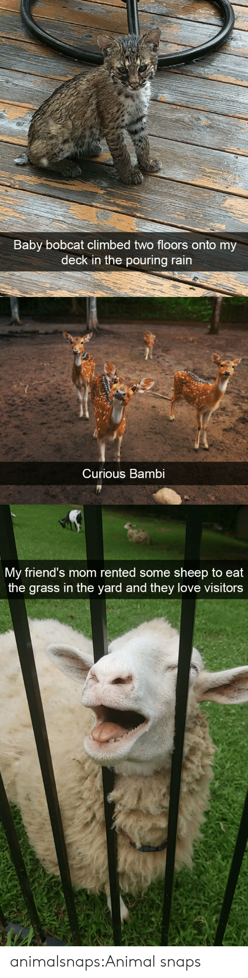 Bobcat: Baby bobcat climbed two floors  deck in the pouring rain  onto my   Curious Bambi   My friend's mom rented some sheep to eat  the grass in the yard and they love visitors animalsnaps:Animal snaps
